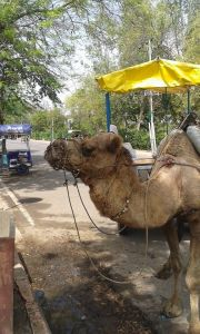 camel ride from Taj Complex to The Oberoi Amarvilas Agra