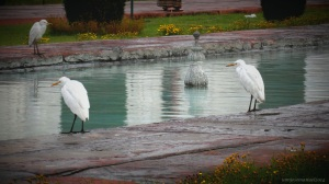 White Herons freely roaming the waterways of Taj Mahal