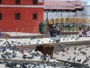 Cows freely roam around Kathmandu