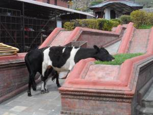 cows eating grass. landscaping is not ideal in India and Nepal. hehe