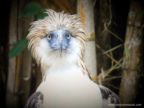 A Portrait of a Female Philippine Eagle ; Such a fierce beauty.