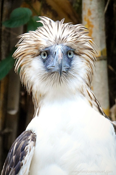 portrait 2 philippine eagle