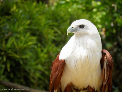 The Brahminy Kite  is a specie of sea eagle found in the Philippines