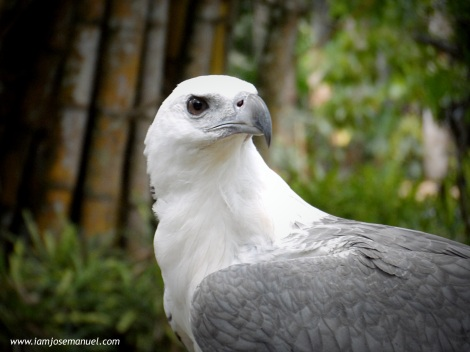 portraits philippine eagle 3