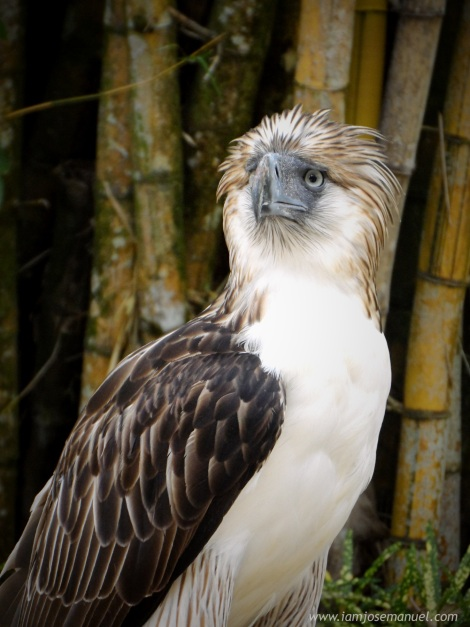 portraits Philippine Eagle