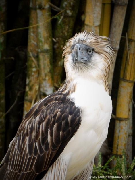 portraits Philippine Eagle